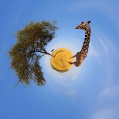 Wall Mural - 360 degree view of Landscape with tree and giraffe in Africa