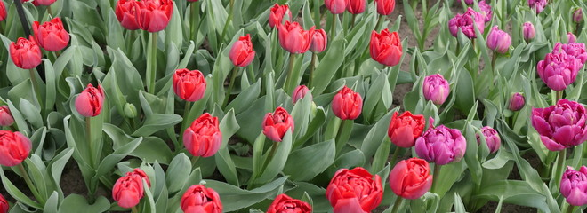 Tulips flowers photographed from above as panorama picture in red purple color