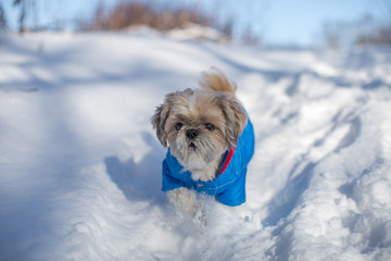 A joyful walk of a shih tzu dog in a winter forest