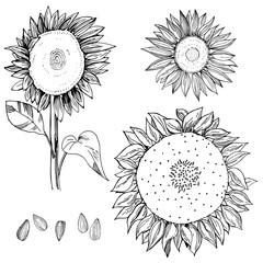 Hand drawn sunflower.  Vector sketch illustration