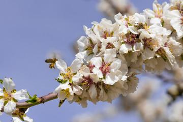 Abeja recogiendo nectar de flor de almendro