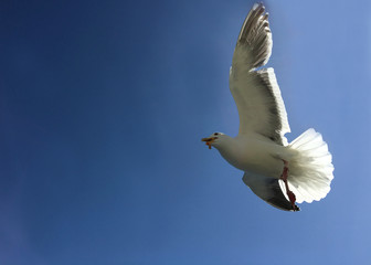 Seagull flying and landing with open wings on the blue sea.
