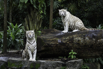 Two tigers in a jungle. A pair of white Bengal tigers over natural background