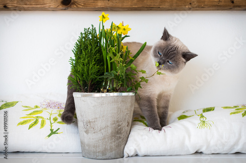 Cute playful blue eyed siamese kitten sniffing potted spring flowers cute playful blue eyed siamese kitten sniffing potted spring flowers adopt a pet friend mightylinksfo