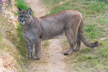 Puma standing in a zoo