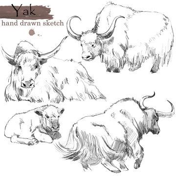 Yak hand drawn sketch. Wild  animal  illustration.