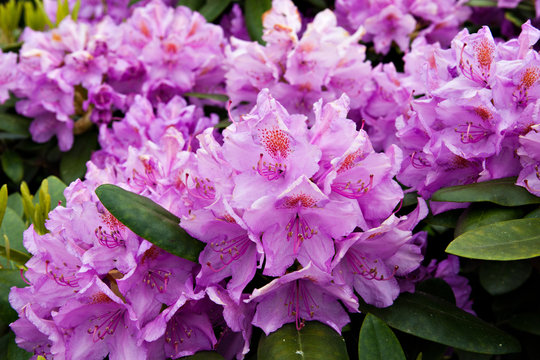 Flowering bush of pink rhododendron