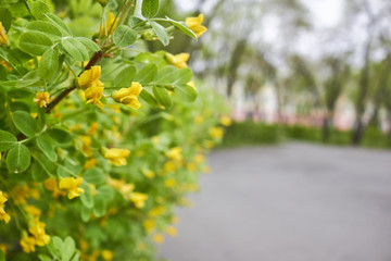 Acacia yellow. Karagana is a tree with sweet flowers. pods whistles.