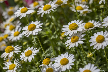 close up daisies in nature