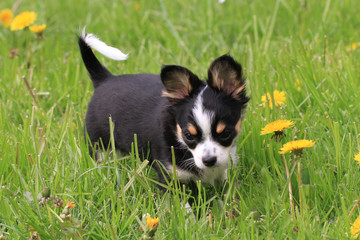 small chihuahua in the grass