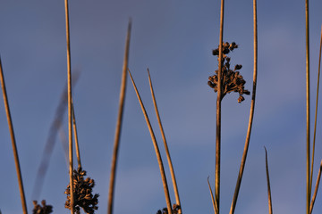 Juncus effesus - a species of rushes with faded flowers  in the setting sun
