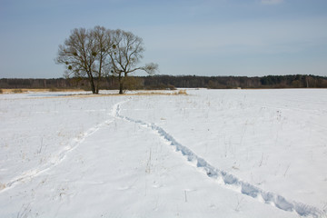 Traces on the snow, trees and forest