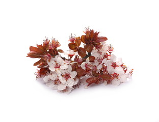 Pink cherry flowers blooming with branch isolated on white background