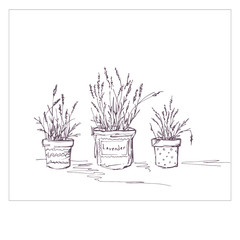 Lavender in pots. Garden flowers in the style of Provence. Medicinal flowers. Mountain flowers are lilac.