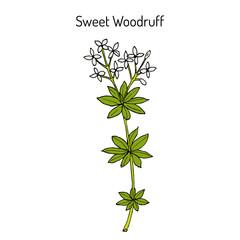 Sweet woodruff Galium odoratum , medicinal plant