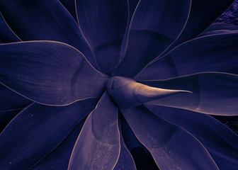 Mystical plant of agave trendy toned ultraviolet, template pattern background. Close up the agave plant Agave Attenuata blue fox tail plant