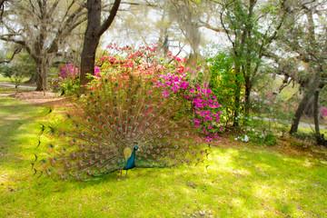 Fototapeta premium Beautiful Peacock spreading wings in blooming garden. Magnolia Plantation and Gardens, Charleston, South Carolina, USA