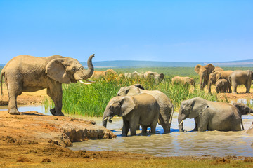 African Elephants near a large pool and others inside the water that cool down with mud. Addo Elephant National Park, Eastern Cape, South Africa. Summer season in a sunny day.