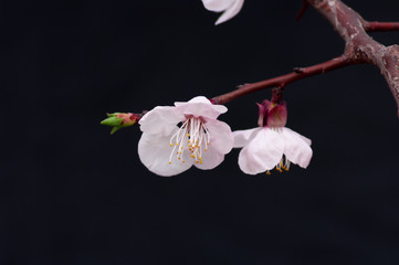 Cherry blossom have begun to bloom in April