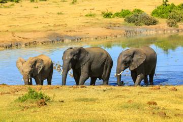 Three African Elephants walking in the water of a waterhole. Addo Elephant National Park in summer season. Eastern Cape, near Port Elizabeth in South Africa.