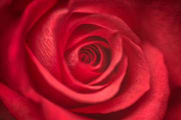 Close up of red rose flower. Macro photo with shallow depth of field and soft focus. Can be used as a background for greeting cards.
