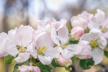 Close up of apple tree flowers in blossoming apple orchard. Macro photo with shallow depth of field and soft focus.