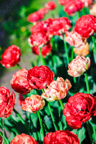 Red Blossoming Double Late Tulips On Spring Meadow Blooming Flowers