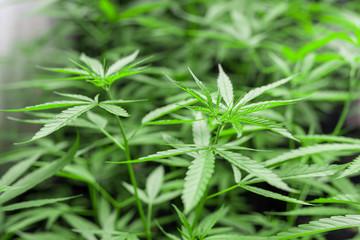 Marijuana leaves, cannabis