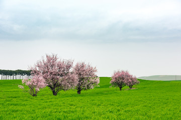 Flowering fruit trees in green farm field