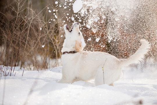 Golden Retriever dog in the winter forest
