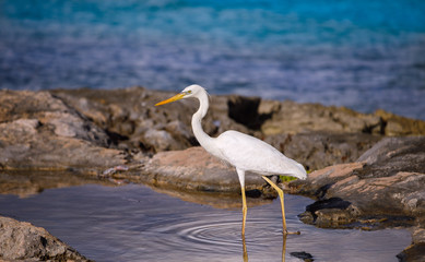 Wall Mural - white egret in the water