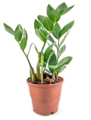 House Plant, Decoration green plant on pot isolated on white background, Zanzibar plant, with clipping path.