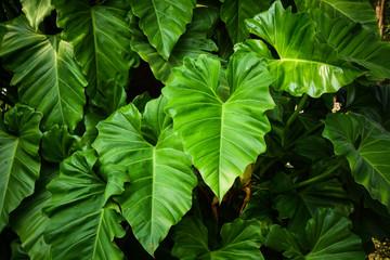 caladium leaf in the rainforest