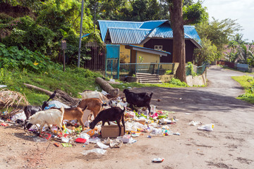 Goats look for food in garbage