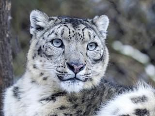 Portrait Snow Leopard, Uncia uncia