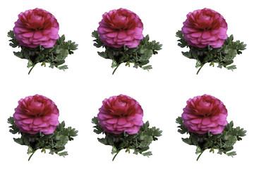 백일홍 이미지