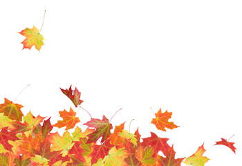 Autumn collection of maple leaves isolated on white