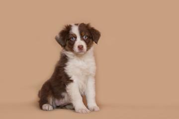 Australian shepherd puppy posing in the studio.