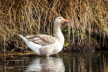 White fronted goose in pond.