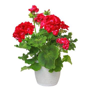 Géranium zonale rouge