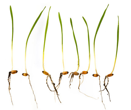 young wheat sprouts isolated on a white background