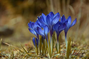 Spring flowers crocuses,