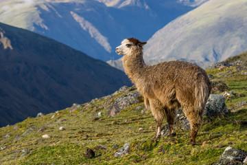 Alpaca Peru Mountains