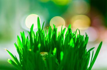 zielona soczysta trawa ozdobna