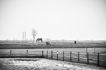 Black and white photo of horses on a rural field