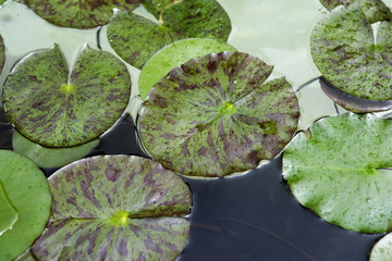 Close up of water lily pads on pond.