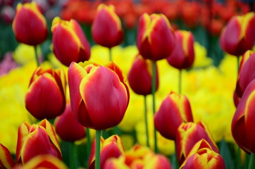 Red yellow tulips close up background in spring garden of Keukenhof from Netherlands.