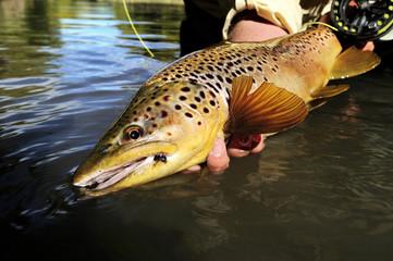 Caught brown trout (Salmo trutta), Pennsylvania, USA