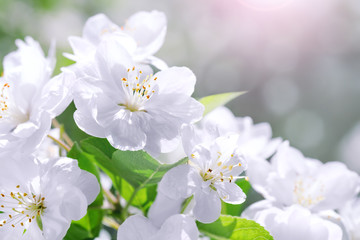Blossom blooming on tree in springtime. Apple tree flowers blooming. Blossoming apple tree flowers with green leaves. Spring tree blossom flowers with green leaves border.