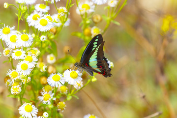 A bright tropical butterfly sits on a daisy flower in a Chinese forest.